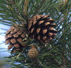 arecales(0.0), produce(0.0), twig(0.0), larch(1.0), flower(1.0), branch(1.0), pine(1.0), leaf(1.0), tree(1.0), flora(1.0), conifer cone(1.0), fir(1.0), spruce(1.0),