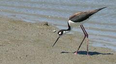 animal, sand, wing, fauna, stilt, shorebird, beak, bird, wildlife,