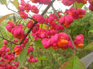 Spindle fruit