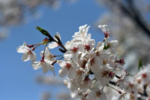 Sakura '07 #001