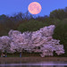 Cherry Blossom Moon by 8230This&That
