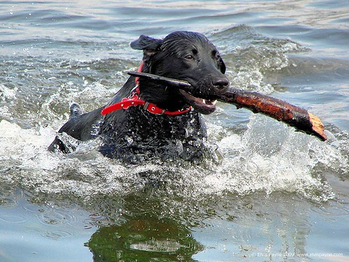 black Labrador retrieving stick in water