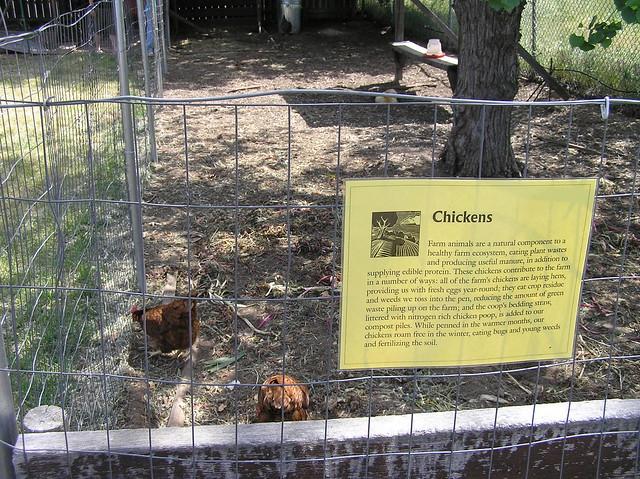 Soil born farm chickens flickr photo sharing for Soil born farms