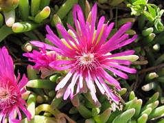 macro photography(0.0), cactus family(0.0), flower(1.0), plant(1.0), karkalla(1.0), wildflower(1.0), flora(1.0), ice plant(1.0), petal(1.0),