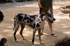 great dane(0.0), street dog(0.0), guard dog(0.0), louisiana catahoula leopard dog(1.0), dog breed(1.0), animal(1.0), dog(1.0), pet(1.0), mammal(1.0), dalmatian(1.0),
