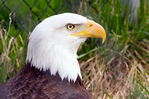 Bald Eagle~May 2007