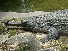 nile crocodile(0.0), american alligator(0.0), animal(1.0), crocodile(1.0), reptile(1.0), fauna(1.0), alligator(1.0), gharial(1.0), crocodilia(1.0), wildlife(1.0),