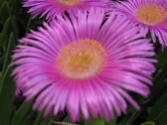 dorotheanthus bellidiformis, annual plant, flower, plant, gerbera, macro photography, flora, close-up, ice plant, petal,