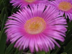 plant stem(0.0), dorotheanthus bellidiformis(1.0), annual plant(1.0), flower(1.0), plant(1.0), gerbera(1.0), macro photography(1.0), flora(1.0), close-up(1.0), ice plant(1.0), petal(1.0),