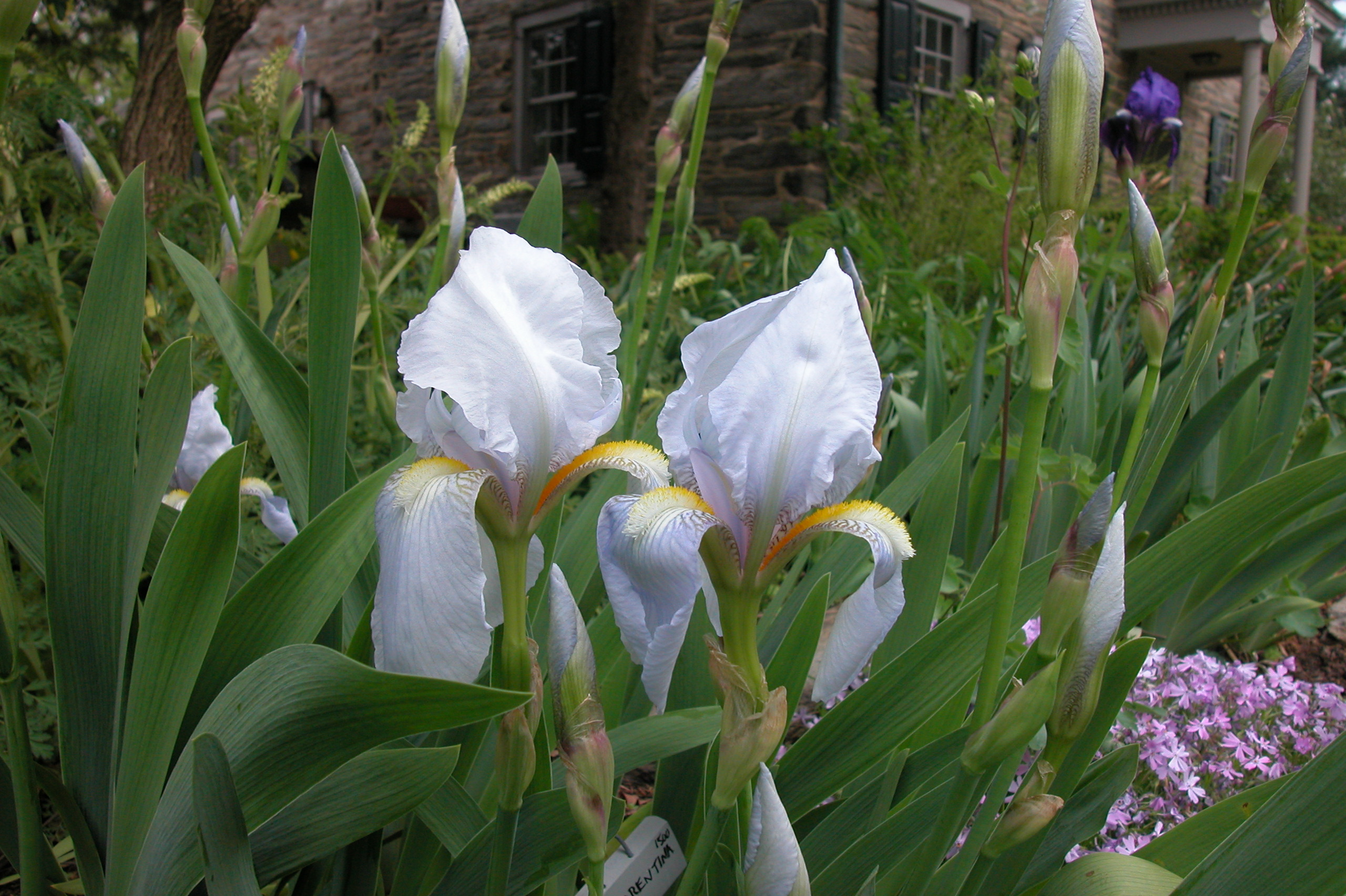 Iris germanica var florentina iris germanica var - Iris germanica ...