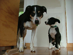 animal, danish swedish farmdog, dog, appenzeller sennenhund, brazilian terrier, pet, mammal, greater swiss mountain dog,