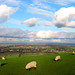 Sheep and the South Downs at Jack and Jill Windmills