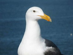 albatross(0.0), animal(1.0), charadriiformes(1.0), fauna(1.0), great black-backed gull(1.0), european herring gull(1.0), beak(1.0), bird(1.0), seabird(1.0),