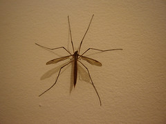 arthropod, animal, brown, mosquito, wing, invertebrate, macro photography, fauna, close-up,