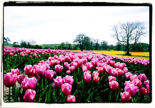 pink flowers ireland flower tree green nature field yellow spring purple tulips tulip tipperary irlanda irlande tulpen tulipes n7 tulipanes 爱尔兰 irlandia 10faves アイルランド ирландия aplusphoto ايرلندة 북아일랜드 moneygall davegkelly