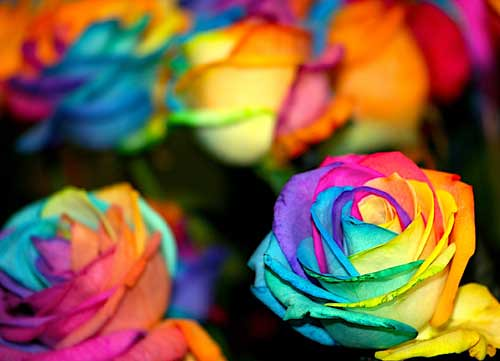 Melissa etheridge multi colored roses flickr photo for How to make multi colored flowers