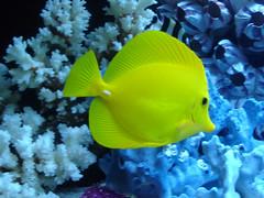 anemone fish(0.0), pomacanthidae(0.0), coral reef(1.0), coral(1.0), fish(1.0), yellow(1.0), coral reef fish(1.0), organism(1.0), marine biology(1.0), underwater(1.0), reef(1.0), pomacentridae(1.0), sea anemone(1.0),
