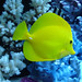 Yellow Tang In Our Salt Water Tank