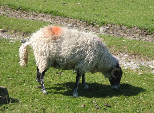 08-sheep-one