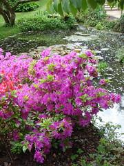 annual plant, shrub, flower, garden, plant, wildflower, flora, azalea,