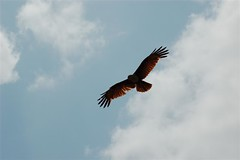 animal, bird of prey, falcon, wing, vulture, buzzard, sky, bird, flight, condor,