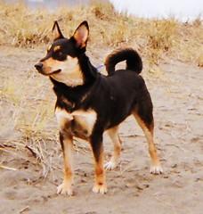 street dog(0.0), lancashire heeler(0.0), dog breed(1.0), animal(1.0), lapponian herder(1.0), australian kelpie(1.0), dog(1.0), pet(1.0), vulnerable native breeds(1.0), carnivoran(1.0),