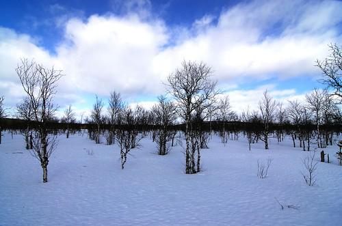 blue winter suomi finland lapland levi birch d200 talvi lappi tokinaatx12244 vaivaiskoivu