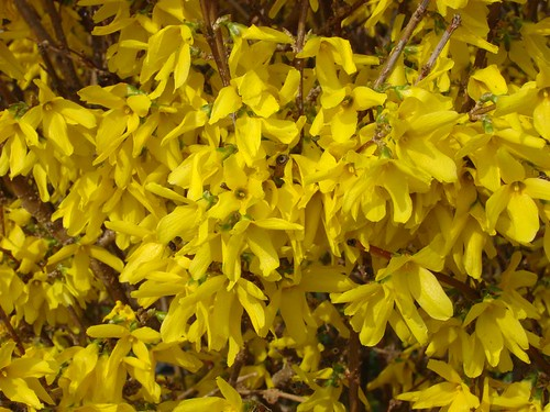 My forsythias before the frost :)
