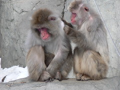 animal(1.0), monkey(1.0), mammal(1.0), fauna(1.0), japanese macaque(1.0), old world monkey(1.0),