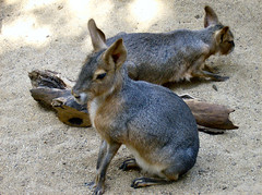 wallaby, animal, rabbit, domestic rabbit, fauna, macropodidae, rabits and hares, wildlife,
