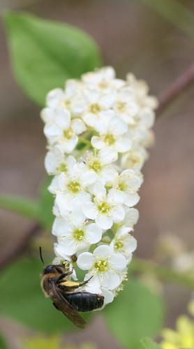 Arbres et arbustes ne plantez pas n 39 importe quoi - Rhododendron ne fleurit pas ...