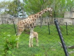 The baby giraffe is nursing.