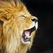 Roaring lion by Tambako the Jaguar