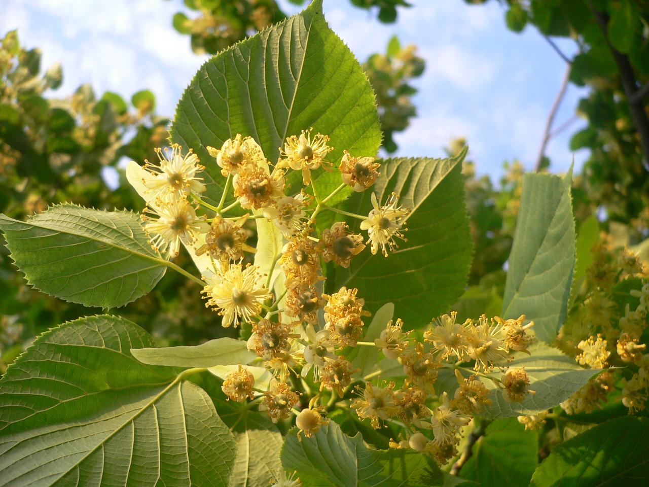 Albero di Tiglio - Tilia platyphyllos (Linden Tree)