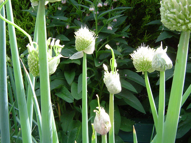Welsh onion flowers