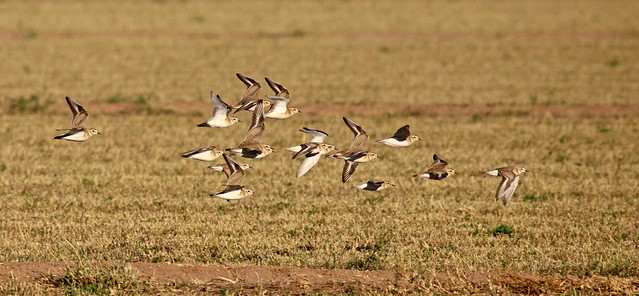 Mountain Plovers