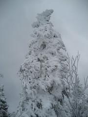 Rime ice on pine