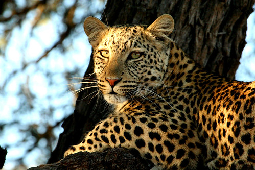 Leopard ( Panthera pardus )