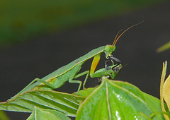 arthropod, animal, leaf, invertebrate, macro photography, mantis, green, fauna, close-up,