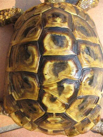 Tartaruga con squama doppia tartaclubitalia for Incubatrice per tartarughe