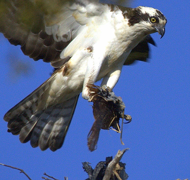 Osprey Returning To Nest With Flounder (Close Study)