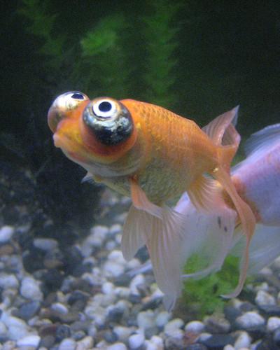 Variet di carassio for Quanto vive un pesce rosso