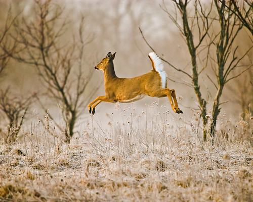 nature illinois deer prairie forestpreserve naperville leap springbrook potofgold dupagecountyforestpreserve springbrookprairie bfgreatesthits livingwild fantasticwildlife
