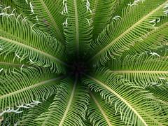 sago palm cycas revoluta flickr photo sharing. Black Bedroom Furniture Sets. Home Design Ideas