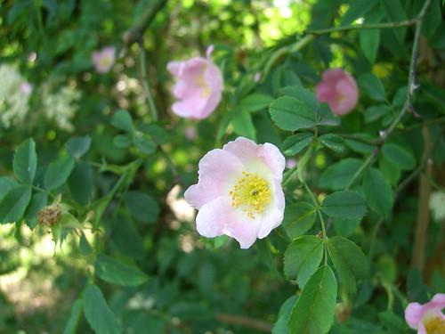 Wild / Dog rose