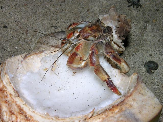 Hermit crab (Coenobita compressus) feasting on a coconut