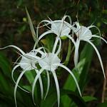 White Spider Lilies - Khao Sok, Thailand