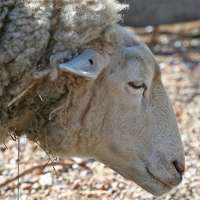 sheep profile   Flickr - Photo Sharing!