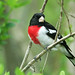 Rose-breasted Grosbeak by nature55