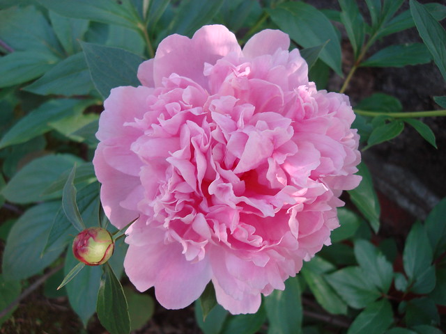 Peony in my Side Yard